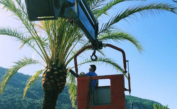 Servicio de poda de palmeras.